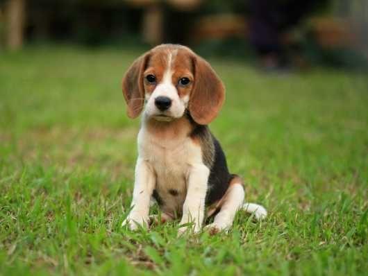 Beagle Puppies For Sale Preston Lancashire Pets4homes Beagle Dog Breed Beagle Dog Beagle Puppy