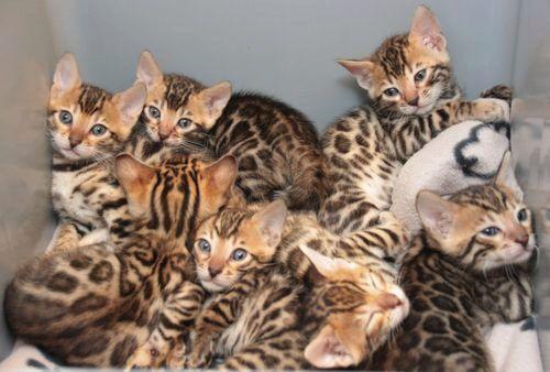 Bengal Familie Aus Munchen Sucht Ein Neues Zuhause In 2020 Bengal Katzchen Tierheim Katzen
