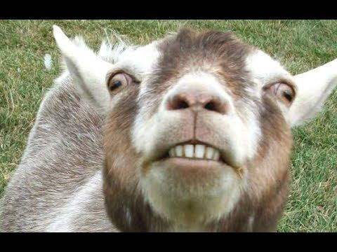 Top 10 Funny Goat Videos Funniest Goats 2017 Video Clips From The Coolest One Goats Funny Goats Funny Animals