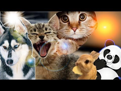 Funny Animals And Cute Panda Video Memes Clean 2020 Youtube Animals Funny Cats Baby Animals Funny Cat And Dog Videos