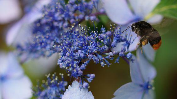 紫陽花と蜂