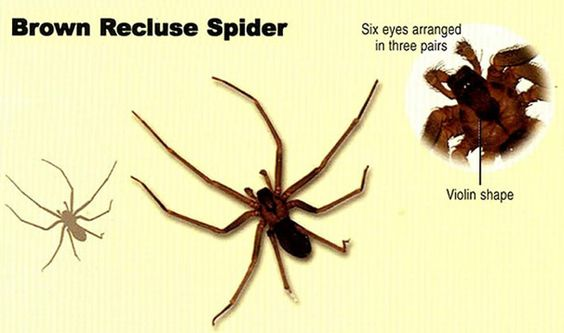 brown recluse bite day 1 - 606×358