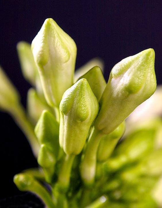 Loroco : flor comestible de fuerte sabor para sazonar sopas ...