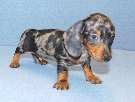 Short Hair Miniature Dachshund Puppies For Sale In 2020 Dachshund Puppies For Sale Dachshund Puppy Miniature Dachshund Puppies