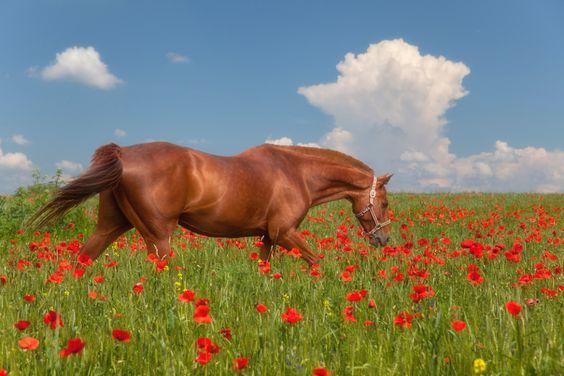 Beau cheval dans le champ de pavot