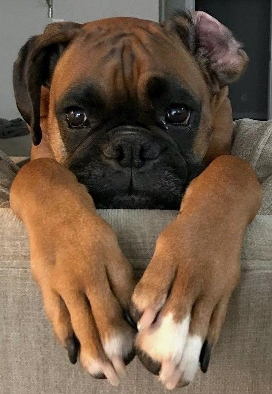 10 Marvelous Boxer Dogs Tips And Ideas Cute Boxer Puppies Boxer Dogs Boxer Puppies
