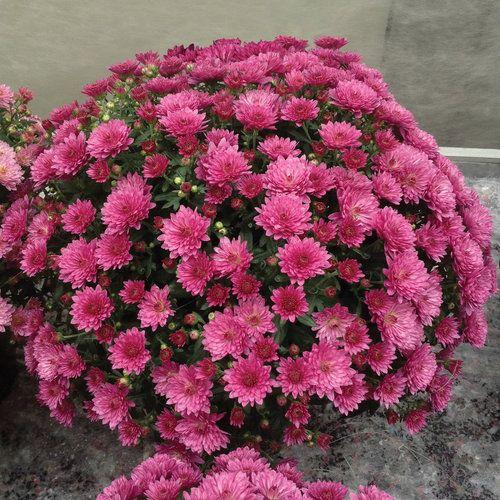 Paradiso Pink Garden Mum Chrysanthemum Grandiflorum Proven Winners Garden Mum Hardy Mums Chrysanthemum