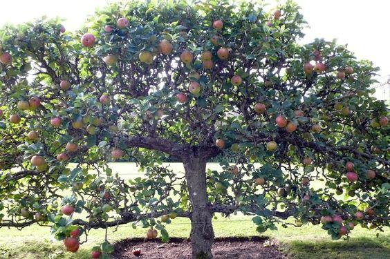 espalier apple tree - Google Search   Fruit trees