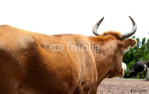 vaca de espaldas - Buscar con Google