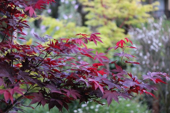 japanese maples. Red Coral (Sango Kaku) & Bloodgood (Acer Palmatum)