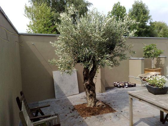 Olijfboom Specialist | Winterharde olijfbomen koopt u bij de Olijfboom Specialist in Overloon - Impressie: