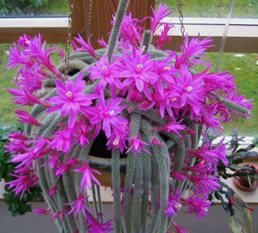 aporocactus flageliformis en flor fucsia