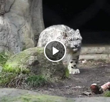 Que leopardo mais fofo é esse.Veja.