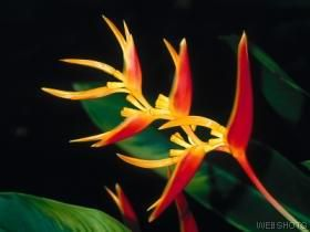 This speechless is referred to as Heliconia.