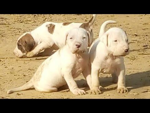Pakistani Bully Puppies For Sale This Week Pak Bully Pups Ready