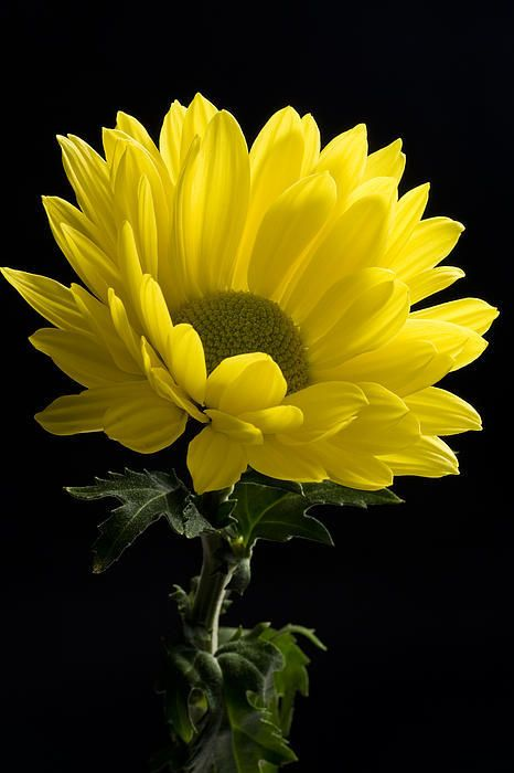 Yellow Flower Portrait By Chris Aquino