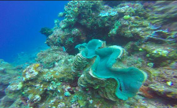 Tridacna in Fiji Is.