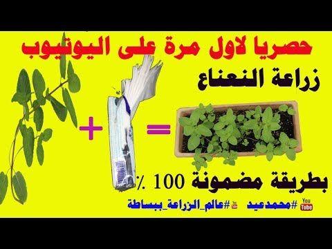 زراعة النعناع من عود نعناع زراعة النعناع في المنزل زراعة النعناع من عود نعناع فقط Youtube Playbill