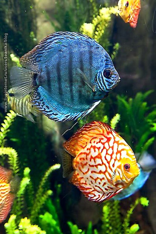 Discus these colorful tropical saltwater wild fish can for Colorful freshwater fish