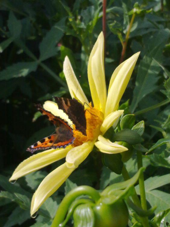 Een Dahlia, twee vlinders.