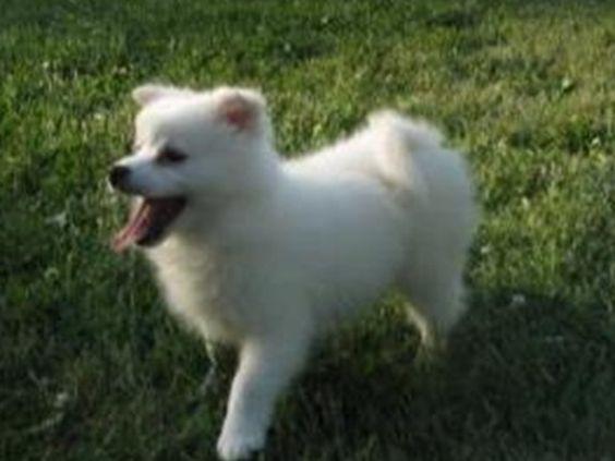 #Amerikaanse Eskimo Dog Ingezonden op: 27 augustus 2013: Eski Eski