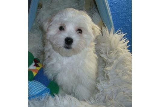 Tierforum Malteser Hunde Welpen Hundeinserat Tierinserat Nr 35904 Loschen In 2020 Malteser Hund Hunde Welpen Hunde