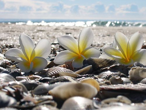 Shells and plumeria