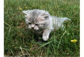 British Shorthair kitten. So cute.