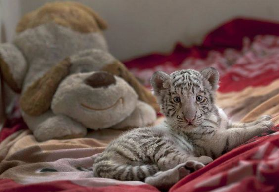 This is a Tiger Cub from a zoo in Lima 2013
