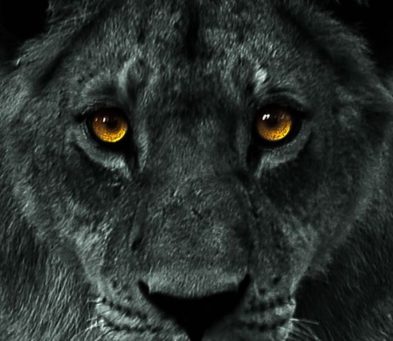 Wild White Lions Blue Eyes Not A Black Lion But