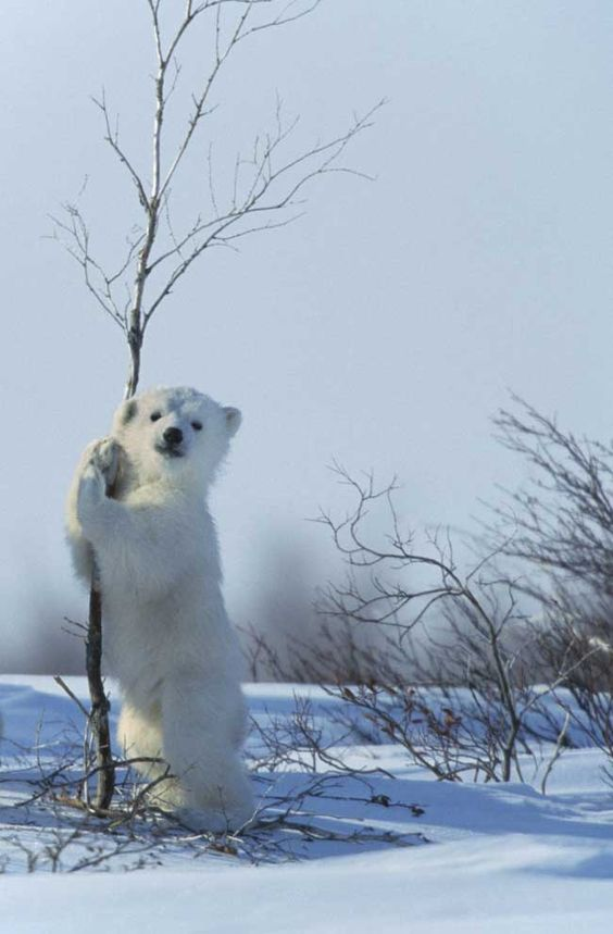 osito polar agarrado a un arbol