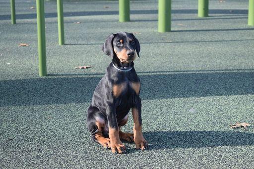 Doberman Pinscher Puppy For Sale In Marshfield Ma Adn 66275 On