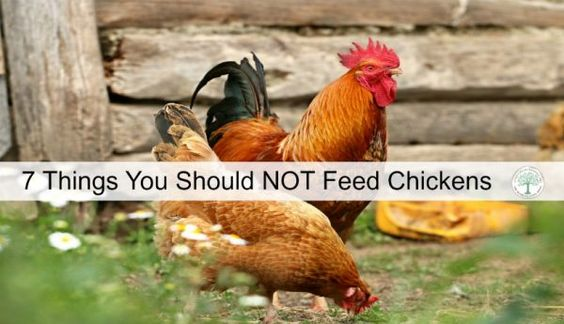 Knowing what NOT to feed chickens is important for a healthy flock.  Here are 7 items that should not be given to your flock.  The Homesteading Hippy