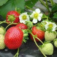 Plantation des fraises