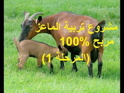مشروع تربية الماعز ناجح 100 المرحلة 1 Youtube In 2021 Animals Goats