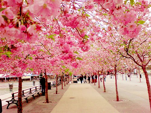 Cherry Blossom Walk, Sakura, Japan