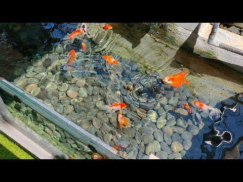 Rahasia Membuat Air Jernih Dan Bening Dengan System Ecosand Youtube Kebun Kecil Kolam Ikan Kolam Ikan Koi