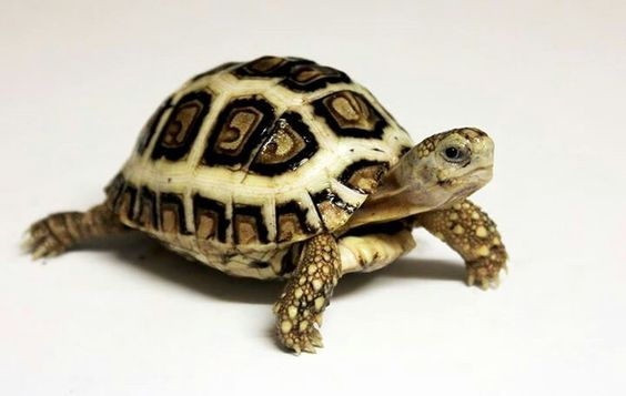 Tortoises Baby Tortoises For Sale Wilton Pets Tortoise For - Jonathan tortoise mind blowing 182 years old