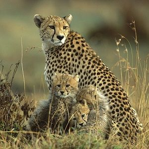 Interesting cheetah facts for kids and adults. We showcase the facts about…