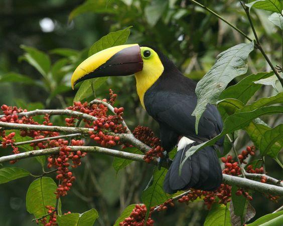 Amazing Facts Of The World >> toucans | Amazing Toucan Bird - Toucans Facts, Photos, Information, Habitats ... | Toucans ...