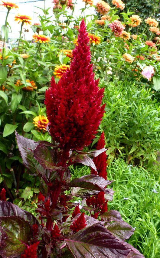 Celosia Argentea Var Plumosa Sunday Wine Red Buy Online At Annie S Annuals Plants Flower Farm Perennial Plants