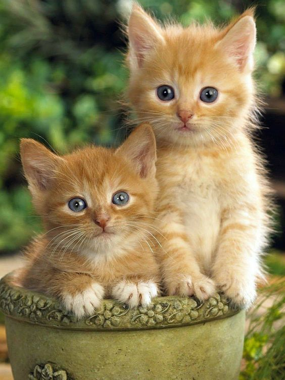 Cat Is One Of The Most Popular Family Pets Page 16 Of 59 Sciliy Kittens Cutest Cute Cats Cute Animals