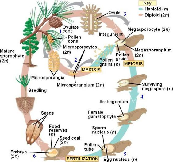 Gymnosperm life cycle, pine tree (conifer) | Cycles | Pinterest ... Arrays Worksheet
