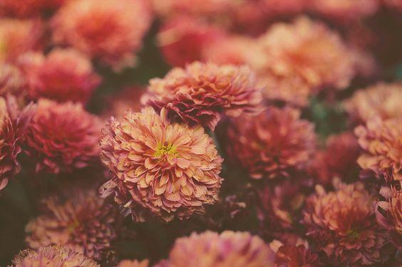 Dahlias Dahlia Bloom Flowers