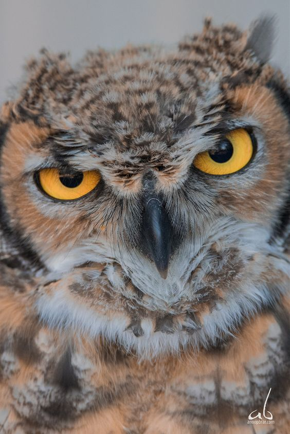 That Look | Short Eared Owl - Owly and stuff