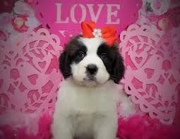 Home In 2020 With Images Pet Store Puppies Online Pet Store Buy Puppies