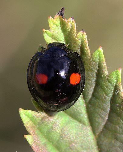 ˚Kidney-spot Ladybird