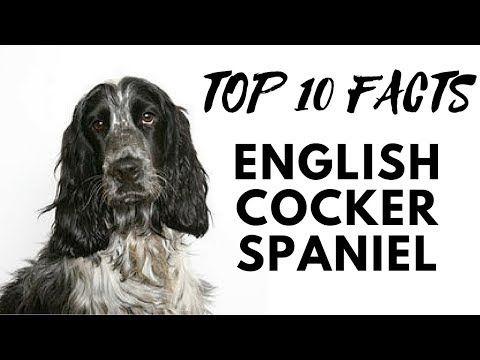 English Cocker Spaniel Top 10 Interesting Facts Youtube