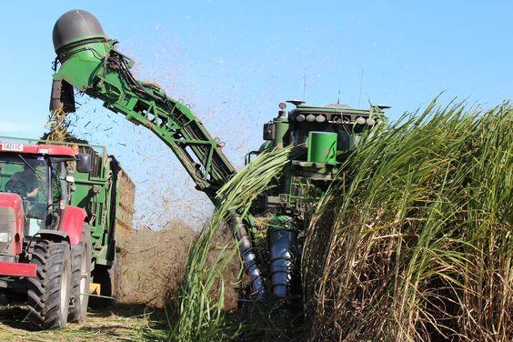 Harvesting Sugar Cane, Mirani Queensland