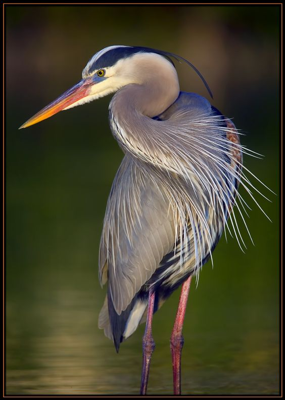 According to North American Native tradition, the Blue Heron brings messages of self-determination and self-reliance. They represent an ability to progress and evolve. The long thin legs of the heron reflect that an individual doesn't need great massive pillars to remain stable, but must be able to stand on one's own.